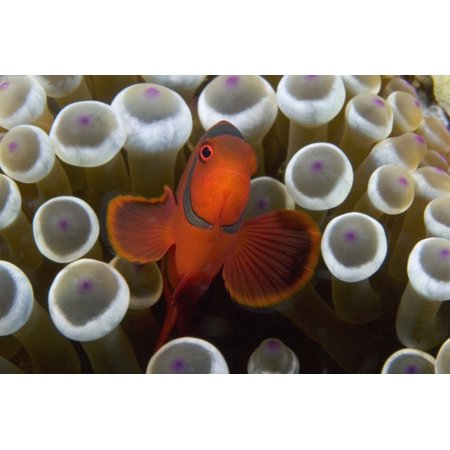 Indonesia Male Spine Cheek Clownfish  Premnas Biaculeatus  Within Sea Anemone  Entacmaea Quadricolor  Canvas Art   Dave Fleetham  Design Pics  36 X 24