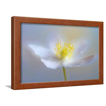 Angelic Flower Framed Print Wall Art By Heidi Westum