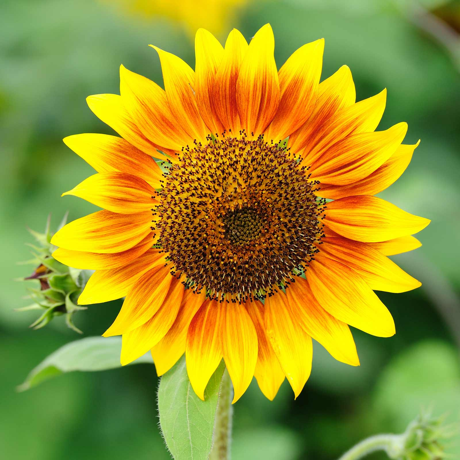 Sunflower Flower Garden Seeds - Pro Cut Series F1 - Mix - 500 Seeds - Annual Wildflower Gardening Seeds - Sun Flower