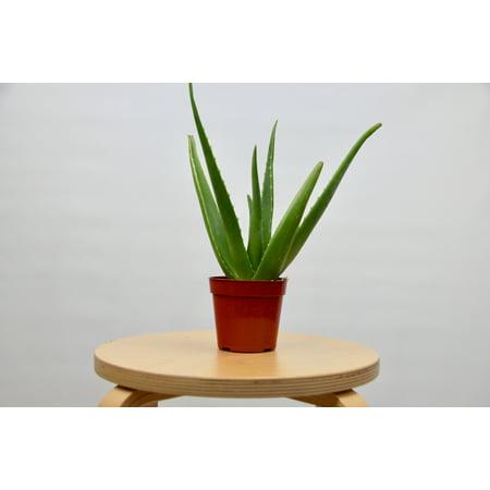 Aloe Vera Plant / 4