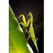 Praying Mantis on a Leaf Journal: 150 Page Lined Notebook/Diary
