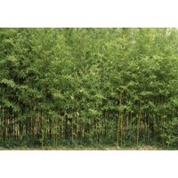 Bamboo Trees in a Forest Fukuoka Kyushu Japan Canvas Art - Panoramic Images (18 x 12)