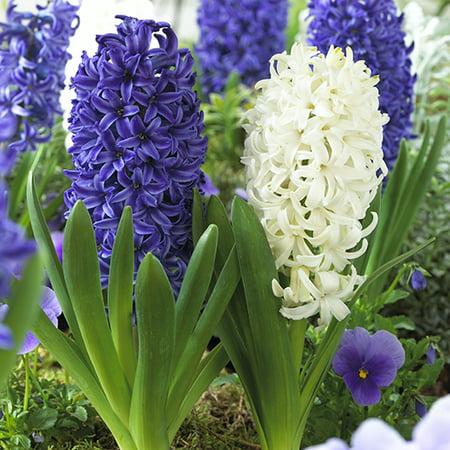 Hyacinth Pack - Hyacinth Blue Jacket & White Pearl, 12-Pack