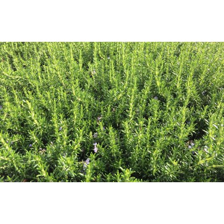 KOKKIA Rosemary : California Fremont Silicon Valley Fresh Rosemary Sprigs (Qty 6 branches) for Food, Herbs, Tea, etc. Grown on grounds where Stanford Winery and Vineyard was once located. - Morgan Winery California