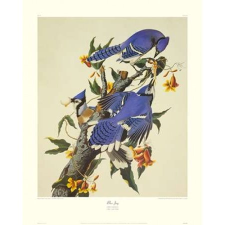 Blue Jay Poster Print By  John James Audubon