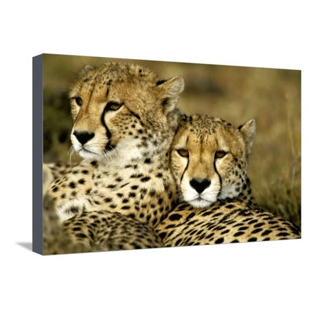 Cheetah Portrait of Pair Close Together Stretched Canvas Print Wall Art ()