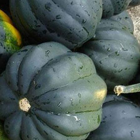 Table King Bush Acorn Squash Seed - 4 g ~35 Seeds - Heirloom, Open Pollinated, Non-GMO, Farm & Vegetable Gardening Seeds - Winter Squash
