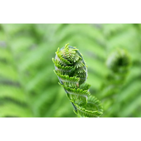LAMINATED POSTER Green Foliage Shades Of Green Nature Plant Fern Poster Print 24 x (Fern Shade)