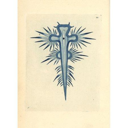 Florilegius   Mary Evans Stretched Canvas Art   Blue Sea Slug  Glaucus Atlanticus   Large 24 X 36 Inch Wall Art Decor Size