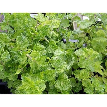 Curly Mint Mint Sauces Fruit Salads Grow Indoors Or Out Live Plant 3 Pot