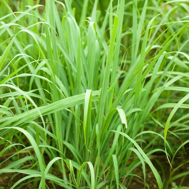 Herb Lemon Grass 800 Seeds #1624 Cymbopogon Flexuosus