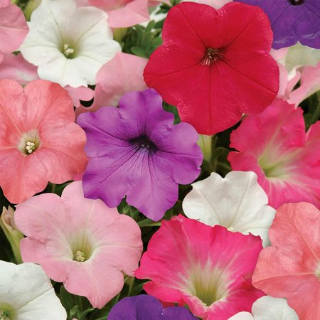- Petunia - Easy Wave Flower Garden Seed - 100 Pelleted Seeds - Formula Mix Blooms - Annual Flowers - Spreading Low Growing Petunias Easy Wave Series -.., By Mountain Valley Seed Company Ship from US