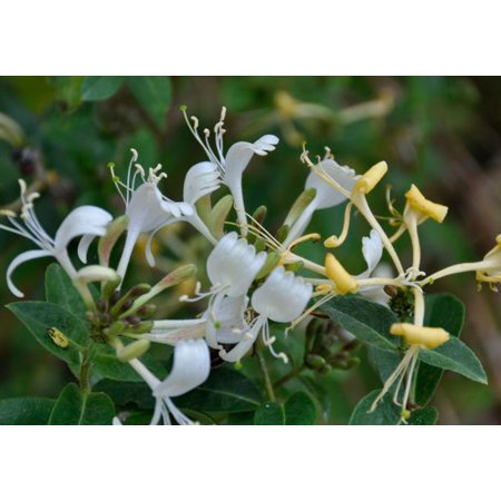Honey Baby Honeysuckle Bush - New Hybrid! - Lonicera - 2.5