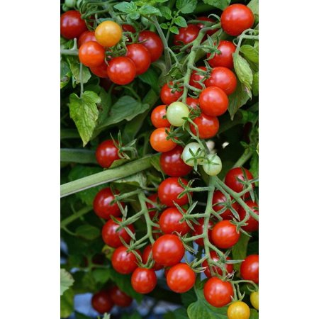 Candyland Red Small Fruited Tomato - 10 Seeds - Grape/Cherry