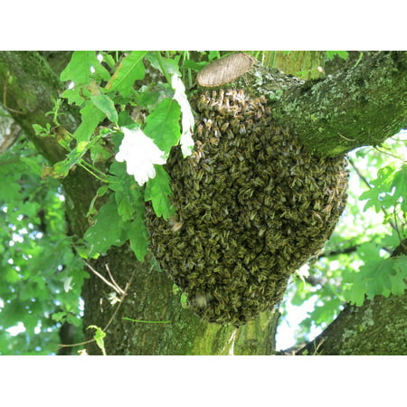 Canvas Print Hive Tree Insect Bees Nature Summer Swarm Stretched Canvas 10 x 14 ()