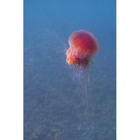 Lion's mane jellyfish (Cyanea capillata), Prince William Sound, Alaska, United States of America, N Print Wall Art By Ashley (Fresh Prince Of Bel Air Ashley Hot)