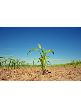 Canvas Print Agriculture Nature Field Plant Agricultural Scion Stretched Canvas 10 x 14