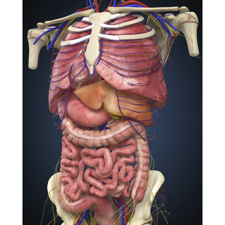 Midsection view showing internal organs of human body Poster - Organs Human Body