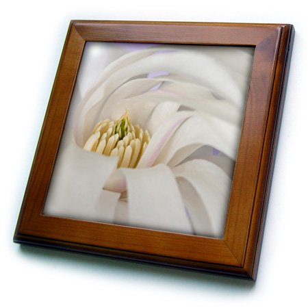 3dRose Detail of star magnolia flower - NA01 BJA0118 - Jaynes Gallery - Framed Tile, 6 by 6-inch