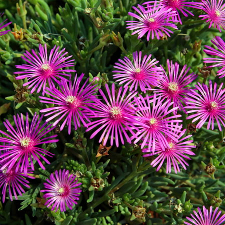 Delosperma Ice Plant Flower Seeds 1000 Seeds Perennial Flower