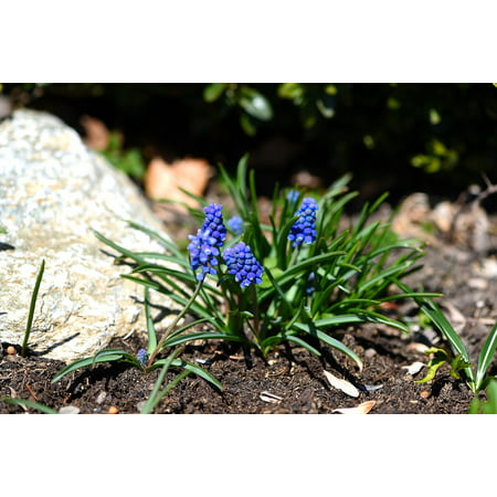 Canvas Print Early Bloomer Muscari Garden Spring Flower Blue Stretched Canvas 10 x 14