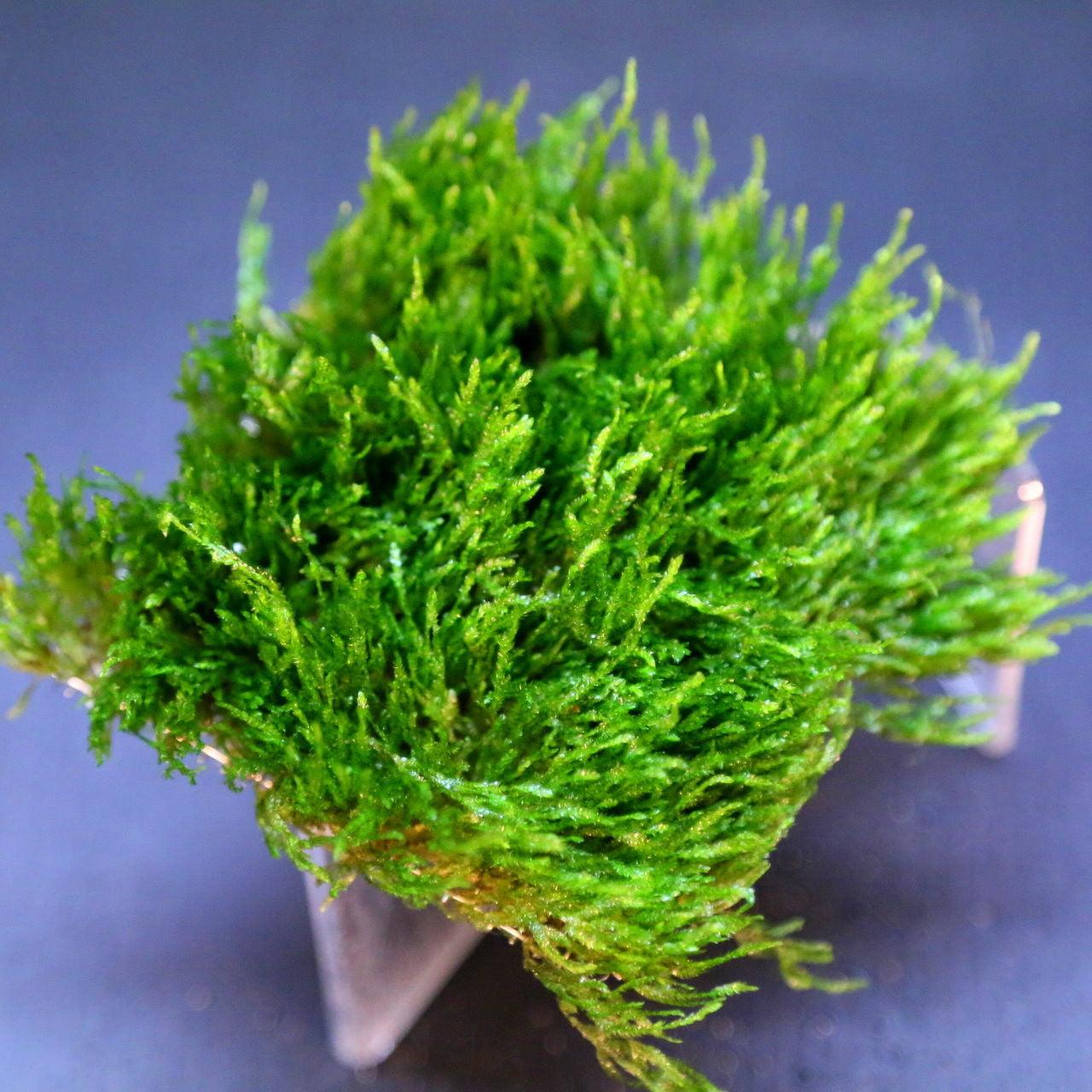 "Flame Moss Pad 3"" x 3""-Live Aquarium Plants Water Low Light Fish TankNo Pesticides by"