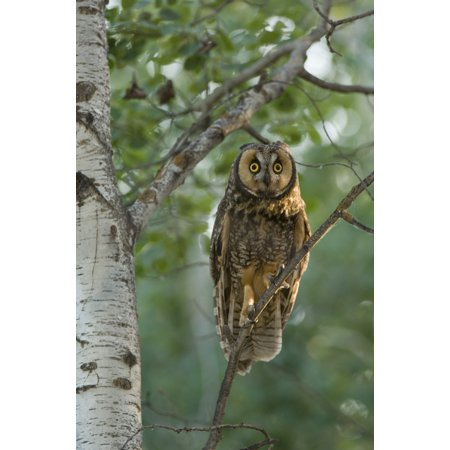 Long-Eared Owl (Asio Flammeus) Saskatchewan Canvas Art - Rebecca Grambo  Design Pics (12 x 18) ()