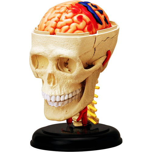 4D Vision Cranial Nerve Skull Anatomy Model by Generic