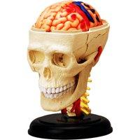 4D Vision Cranial Nerve Skull Anatomy Model