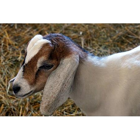Canvas Print Farm Nature Livestock Baby Goat Animal Stretched Canvas 10 x - Goat Farm Arts Center Halloween