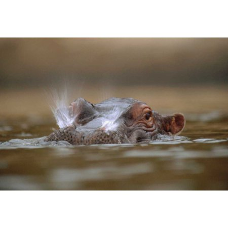 Hippopotamus breathing at water surface Kenya Poster Print by Tim Fitzharris ()