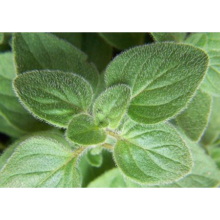 Greek Oregano Herb - Good Scents - Organum - Live Plant - 3