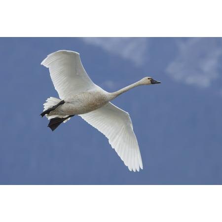 Blue Swan - A Tundra Swan Flys Through The Blue Sky Near Portage Southcentral Alaska Autumn Canvas Art - Doug Lindstrand  Design Pics (19 x 12)