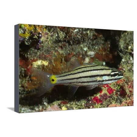 - Split-Banded Cardinalfish in Juvenile Form Stretched Canvas Print Wall Art By Hal Beral