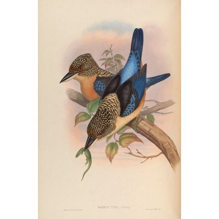John Gould Stretched Canvas Art - Birds of Asia 1850 Mantled Kingfisher - Large 24 x 36 inch Wall Art Decor Size.