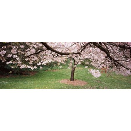 Cherry Blossom tree in a park Golden Gate Park San Francisco California USA Canvas Art - Panoramic Images (36 x