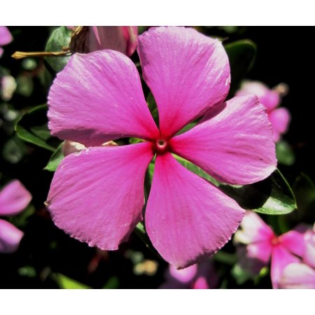 Canvas Print Pretty Pink 5 Petals Simple Periwinkle Stretched Canvas 10 x 14