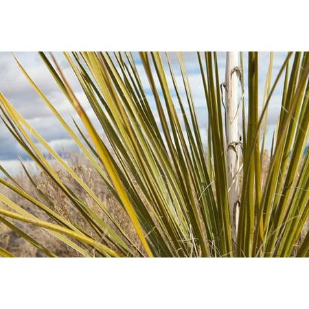 - Century Plant I, Fine Art Photograph By: Dana Styber; One 36x24in Fine Art Paper Giclee Print