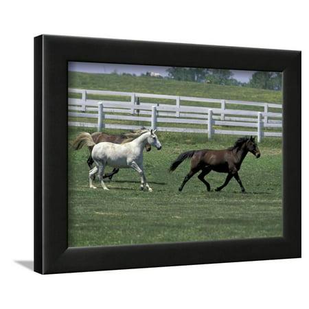 Thoroughbred Horses Running, Kentucky Horse Park, Lexington, Kentucky, USA  Framed Print Wall Art By Adam Jones