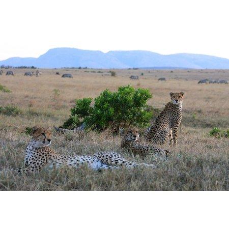 Wildlife Trio - Laminated Poster Cats Nature Wildlife Safari Trio Animal Ch Poster Print 11 x 17