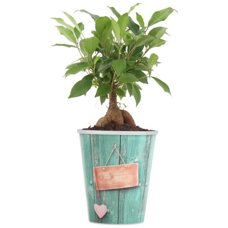 Grow Bonsai Tree (Delray Plants Bonsai Tree Easy to Grow Live House Plant, Ginseng Ficus in 4-inch Waterwick Self-watering Pot)