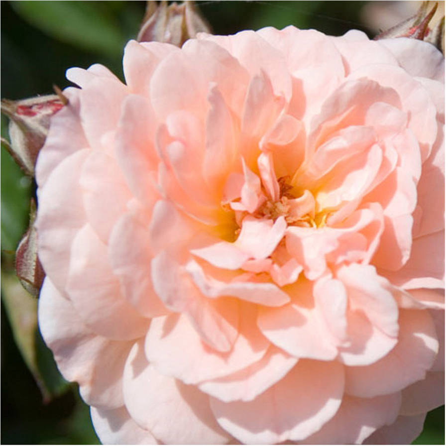 1 Gal Apricot Drift Groundcover Rose Double Apricot Colored
