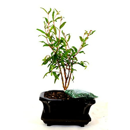 Pink Bonsai - 9GreenBox - Dwarf Pomegranate Mame Bonsai Great Fruiting Plant With Ceramic Pot