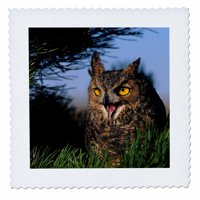 3dRose Great Horned Owl hooting in a pine tree, Colorado - Quilt Square, 10 by 10-inch