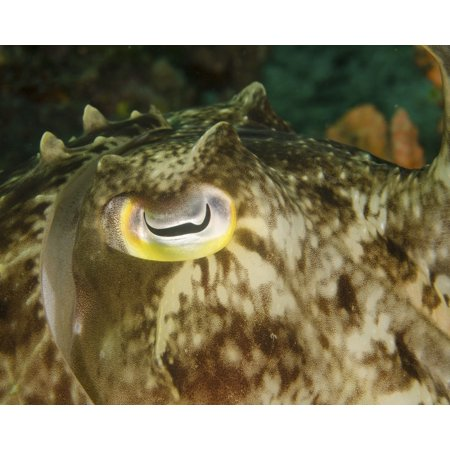 Close-up of a cuttlefish eye Manado Indonesia Poster Print