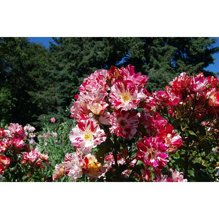 Japanese Rose Garden (Fourth of July Climbing Rose - Fragrant, Everblooming - 4