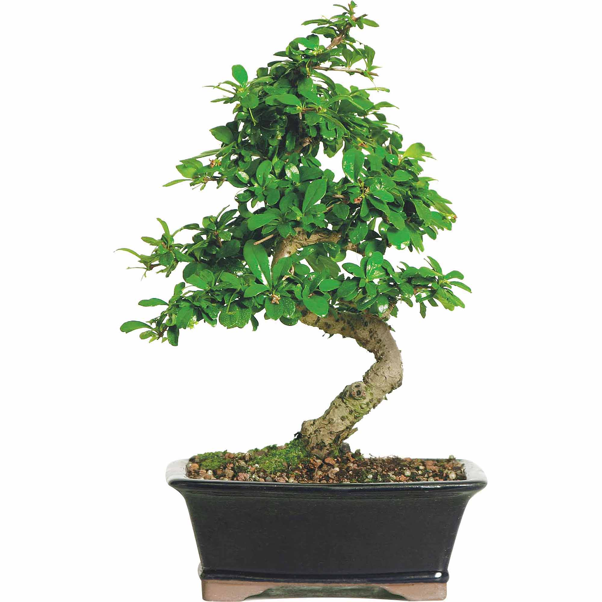 Brussel's Fukien Tea Bonsai - Medium - (Indoor)