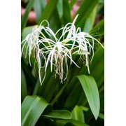 White Spider Lily Journal: 150 Page Lined Notebook/Diary