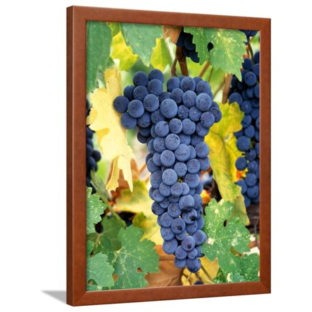 Napa Cellars Cabernet Sauvignon (Cabernet Sauvignon Grapes, Napa Valley, California Framed Print Wall Art By Karen Muschenetz)