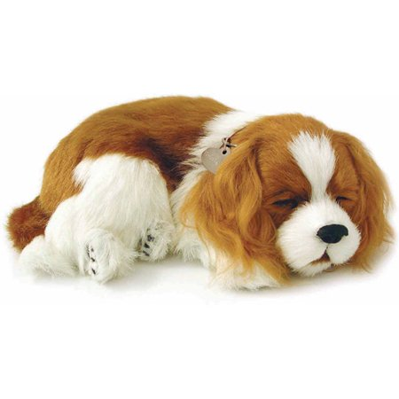 Perfect Petzzz, Cavalier King Charles